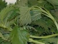 Заготовка из щавеля с крапивой для зеленых щей на зиму